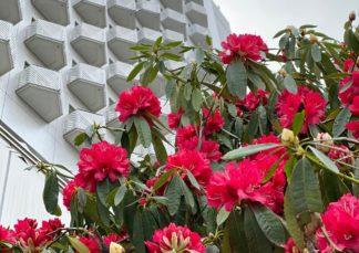 西洋シャクナゲ開花!